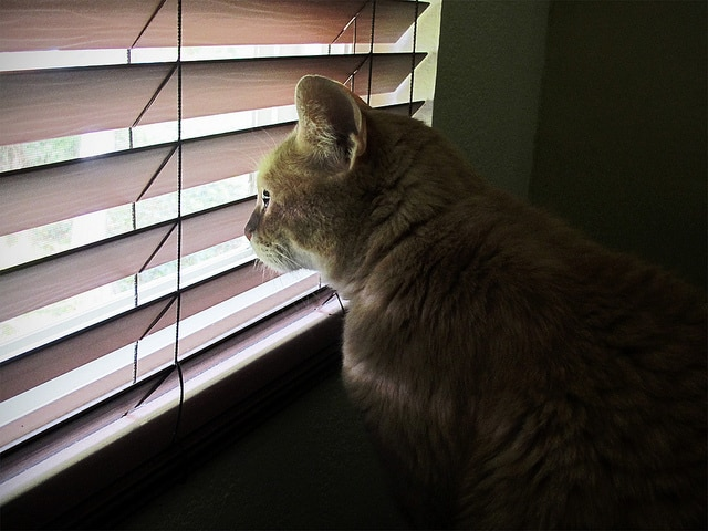 cat looking out wood blinds