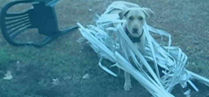 Dog Destroys Blinds